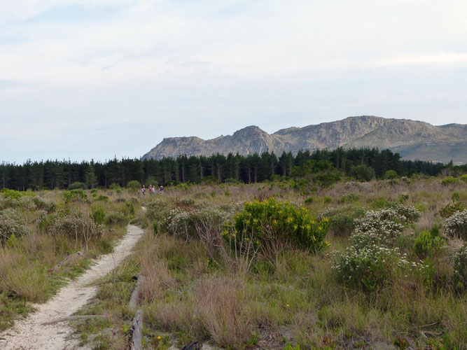 Pine trees and Protests: Challenges and successes of restoring Critically Endangered Cape Flats Sand Fynbos at Lower Tokai, Cape Town, South Africa