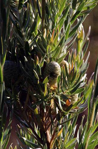 Leucadendron-floridum_TR_web