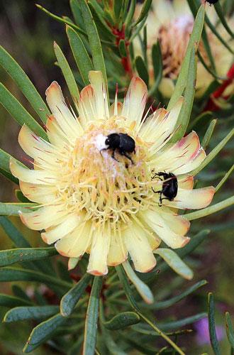 Protea-scolymocephala_TR_web