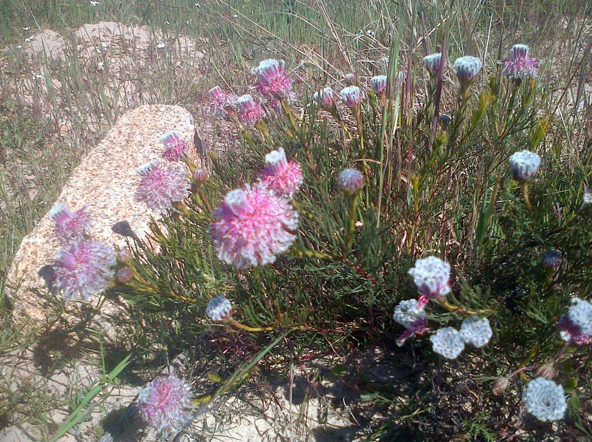 serruria-furcellata-bracken-nr-2_web