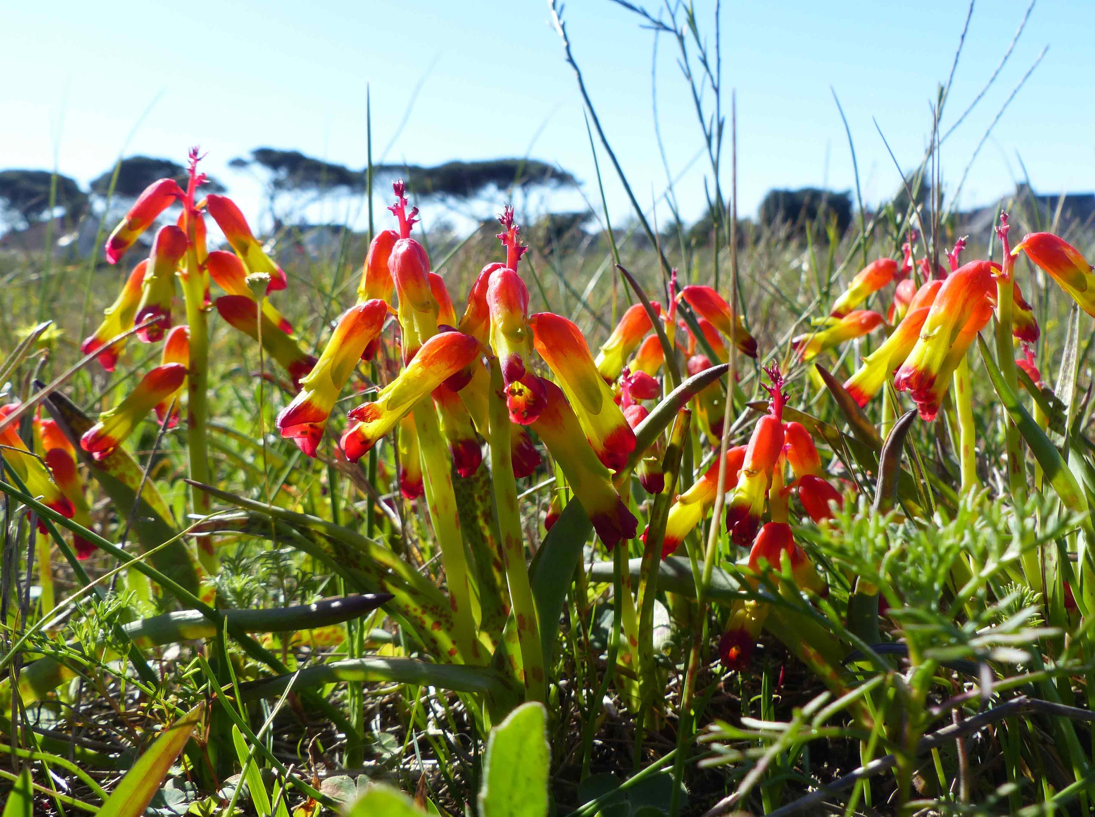 Lachenalia-aloides-Rondebosch-Common