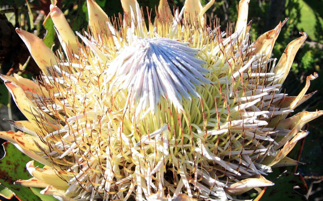 Proteas: An Introduction