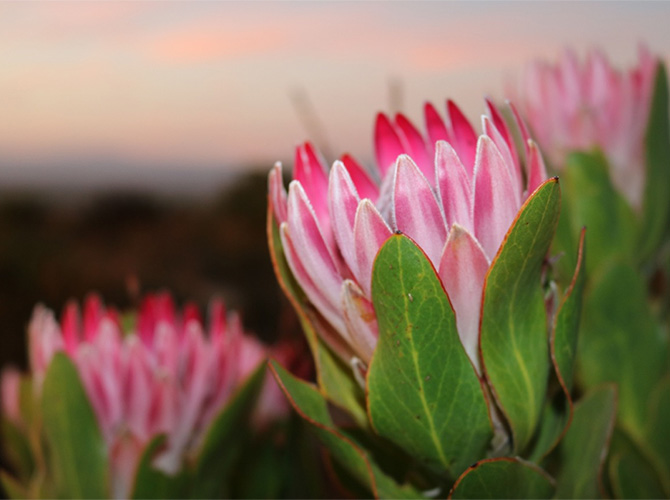 What fynbos flower are you?